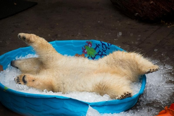 | Courtesy Utah's Hogle Zoo Nora may have been abandoned by her mother, but her playful nature won the hearts of thousands on Facebook when the young polar bear — who has been paired up with a polar bear named Hope at Utah's Hogle Zoo — was filmed by Oregon Zoo staff playing in a pool of ice.
