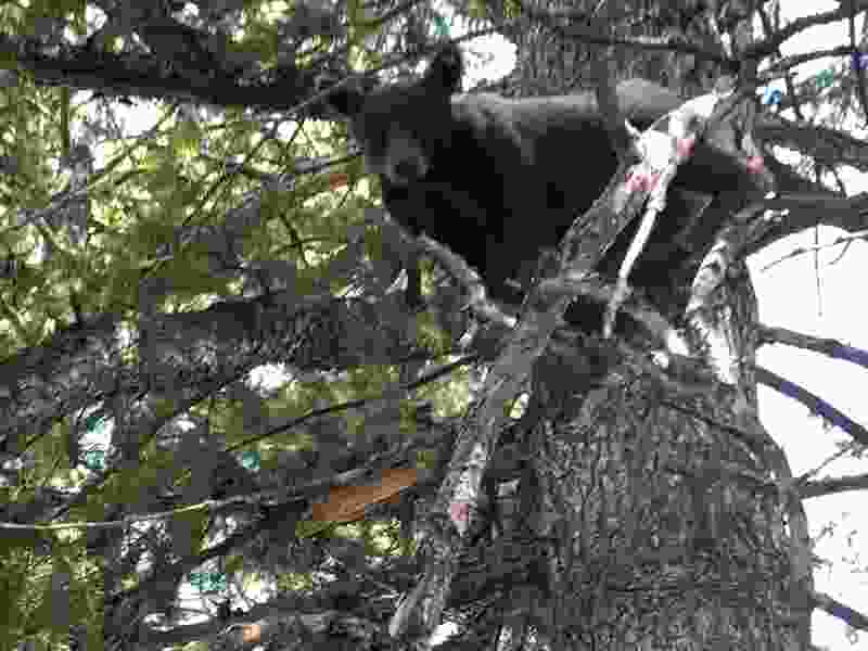 Dogs help wildlife officials track down and kill a black bear after it injured a boy in a Utah campsite