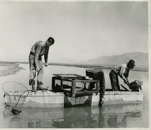 (Courtesy Bear River Migratory Bird Refuge) Botulism took a big toll on ducks in the Bear River Delta in the 1930s. Workers try to pick up sick and dead birds in the 1930s to prevent spread of disease.