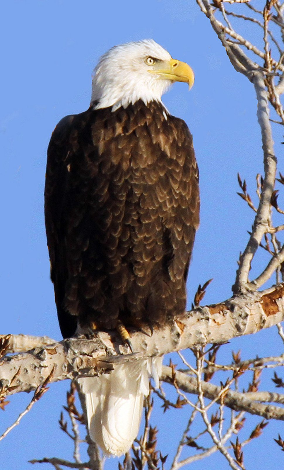 (Courtesy of the Utah Division of Wildlife Resources) February is the perfect time to view bald eagles in Utah. You can see eagles at five viewing sites during Bald Eagle Month.