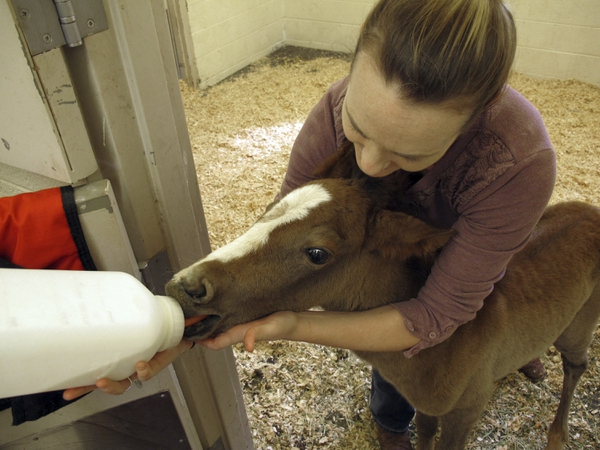 In this Thursday, May 3, 2018 photo,Erin Hisrich, owner of Aspen Veterinary Clinic in Flagstaff, Ariz., attempts to bottle feed a foal that nearly died from dehydration. A couple of miles off the highway through northern Arizona is one of the most stark examples of the toll drought has taken on the region: more than 100 dead horses surrounding by cracked dirt, swirling dust and a ribbon of water that couldn't quench their thirst. Officials on the Navajo Nation are working to cover the site with lime to help the animals decompose and keep away scavengers. (AP Photo/Felicia Fonseca)