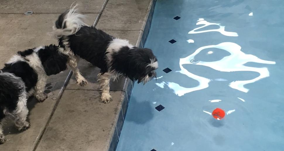 (Scott D. Pierce | The Salt Lake Tribune) Chip (center) wants to get the tennis ball. Xavi isn't interested in getting wet.