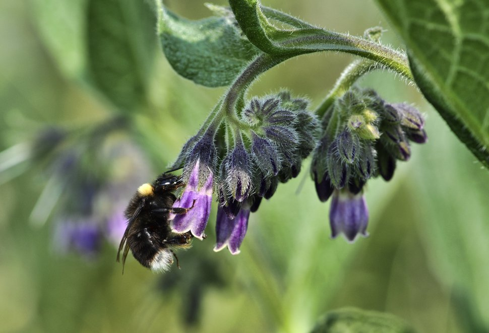 This undated photo provided by Rich Hatfield shows a western bumble bee (Bombus occidentalis). The Pacific Northwest Bumble Bee Atlas for Idaho, Oregon and Washington that started this month aims to accumulate detailed information about bumblebees with the help of hundreds of citizen scientists spreading out across the three states. (Rich Hatfield/The Xerces Society via AP)