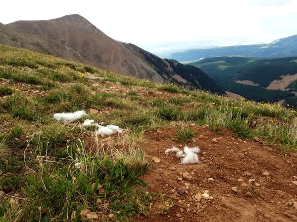 (Photo courtesy of Marc Coles-Ritchie, Grand Canyon Trust) Conservationists say introduced mountain goats in Utah's La Sal Mountains, pictured here in July 2017, are damaging Mount Peale's fragile alpine ecosystems. This photo shows goat hair left on a high ridgeline where goats have wallowed, exposing soils. Utah wildlife officials are now developing proposals to establish goat herds in other Utah ranges where this big game species is not native.