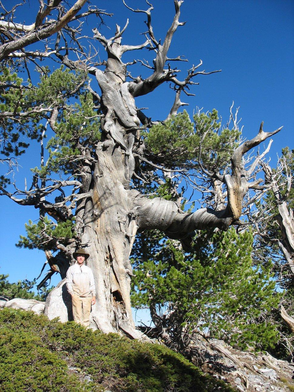 (Photo courtesy of Matt Bekker, Brigham Young University) Limber pine in American Fork Canyon.