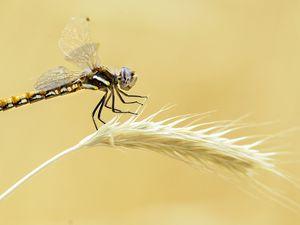 Steve Griffin     The Salt Lake TribuneA dragonfly clings to a dried grass stalk on the Bonneville Shoreline Trail in Salt Lake City Monday July 10, 2017.