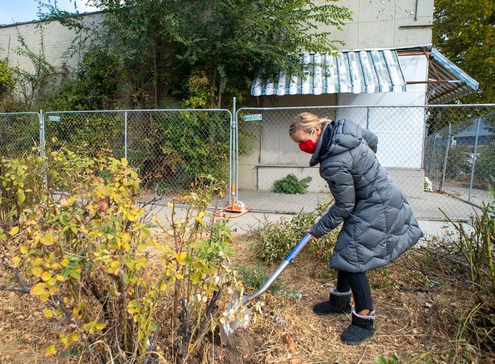 (Rick Egan   The Salt Lake Tribune) Tenille Bender digs a rose bush on the property of an old drug store on 200 South in Salt Lake, on Friday, Oct. 23, 2020.