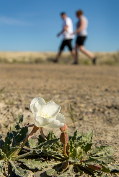 Leah Hogsten   The Salt Lake Tribune Walkers during Saturday's Life's Worth Living Foundation pass a sego lily on their journey from Knolls to Wendover on a frontage road paralleling Interstate 80, April 27, 2019. The Life's Worth Living Foundation's annual 100 mile walk from Tooele to Wendover was created to raise awareness surrounding suicide and funds to continue suicide prevention efforts.