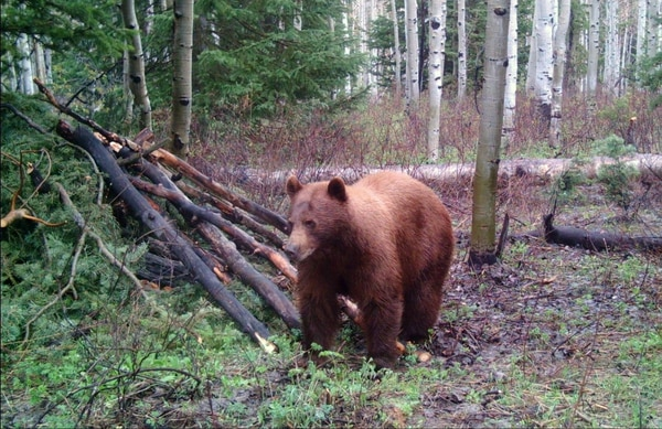 (Courtesy Utah Division of Wildlife Resources) Black bears are doing well in Utah.