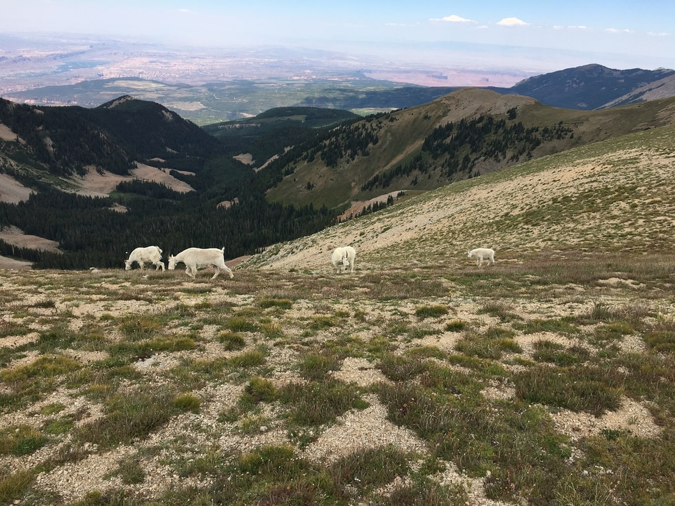 (Photo courtesy of Marc Coles-Ritchie, Grand Canyon Trust) Conservationists say introduced mountain goats in Utah's La Sal Mountains, pictured here in July 2017, are damaging Mount Peale's fragile alpine ecosystems. Utah wildlife officials are now developing proposals to establish goat herds in other Utah ranges where this big game species is not native.