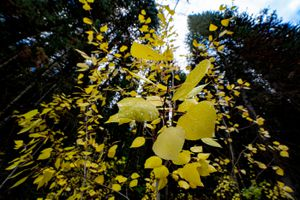 (Francisco Kjolseth | The Salt Lake Tribune) Vibrant yellows are showcased by the evergreen canopy along Little Water Trail at the top of Millcreek Canyon on Thursday, Oct. 7, 2021.