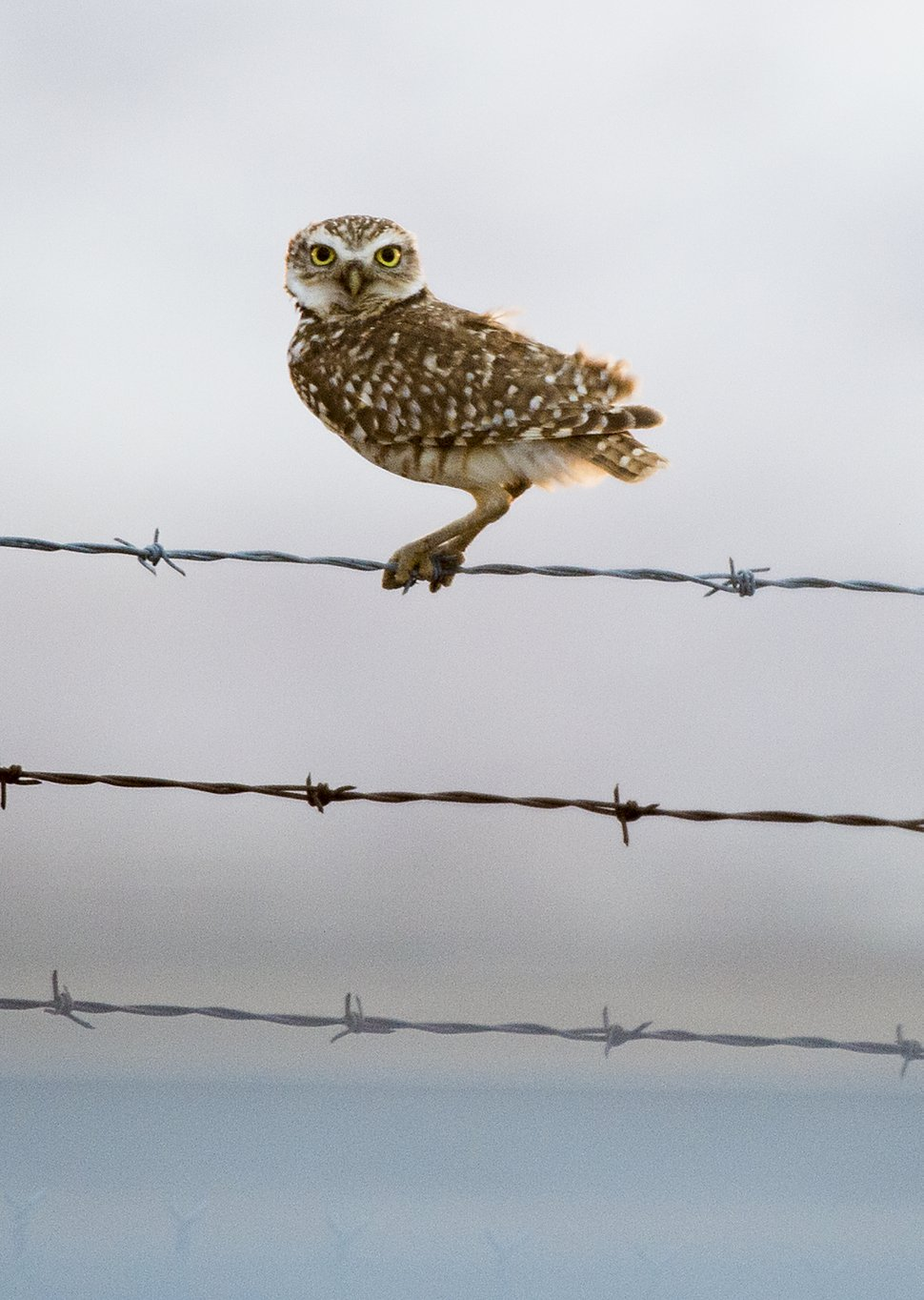 Leah Hogsten | The Salt Lake Tribune A Burrowing Owl rests on the fence surrounding the Salt Lake International Airport. The airport had 280 bird strikes in 2018. Most were minor, but overall they caused at least $674,892 in reported damage. There were 171 bird strikes with small song birds; 39 with waterfowl, 36 with raptors, 13 with bats and four with pigeons or doves. Another 17 strikes were with unknown types of birds.