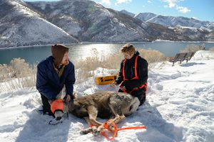 (Francisco Kjolseth  |  The Salt Lake Tribune) Division of Wildlife Resources intern Levi Watkins and veterinarian Annette Roug perform a health check on a deer at Little Dell Reservoir on Friday, Jan. 10, 2020. The DWR used a helicopter to perform a study on how wildlife is using the new animals-only overpass at Parleys Summit, which opened in December of 2018.