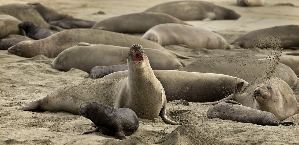 (John Burgess | The Press Democrat via AP) In this photo taken Monday, Jan. 28, 2019, without tourists and park rangers to discourage them during the government shutdown, elephant seals have expanded their pupping grounds in Point Reyes National Seashore, Calif. About 60 adult seals have birthed 35 pups took over a beach knocking down a fence and moving into the parking lot.