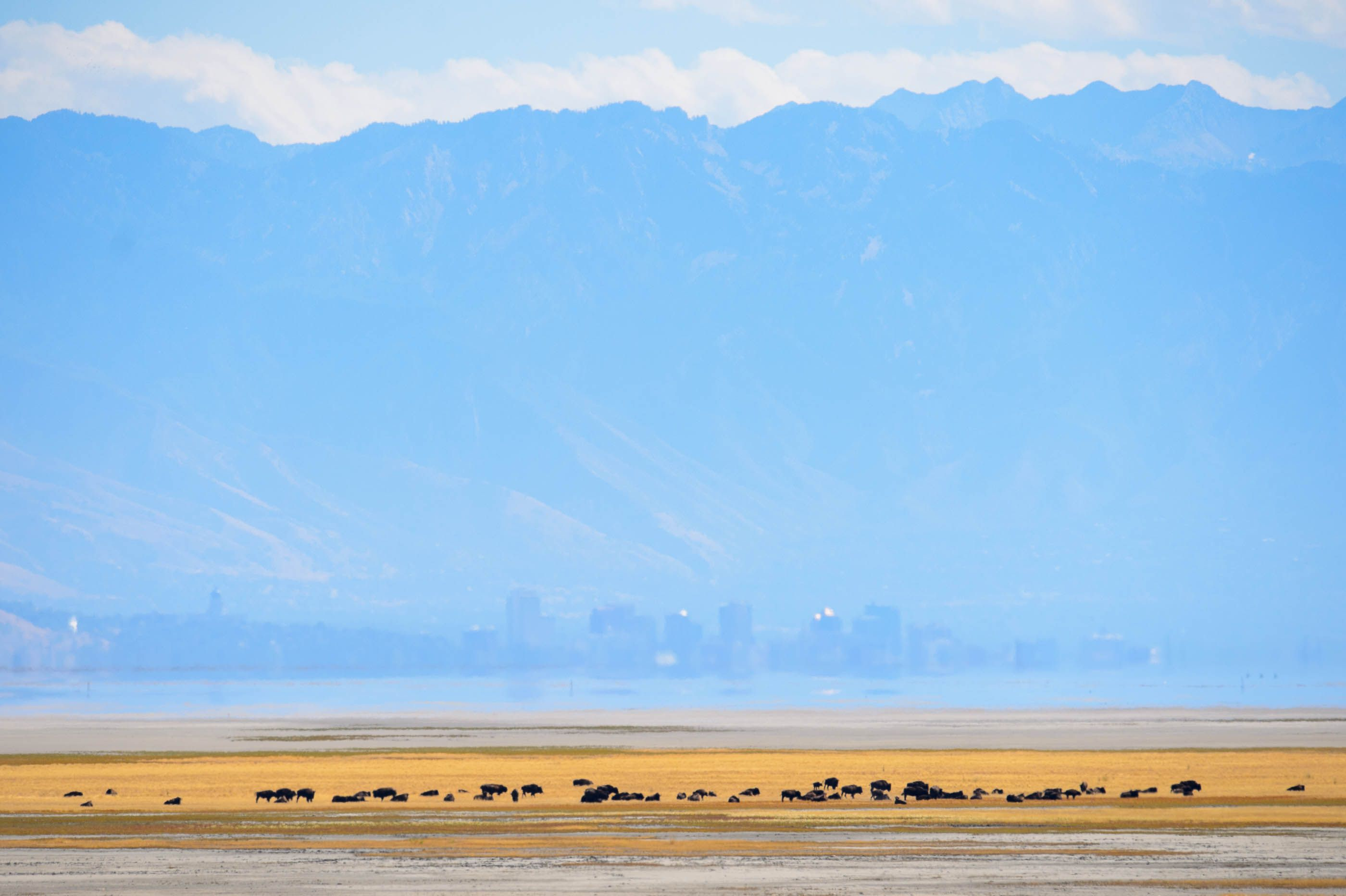 An island no more? State to put up fences to keep Antelope Island bison
