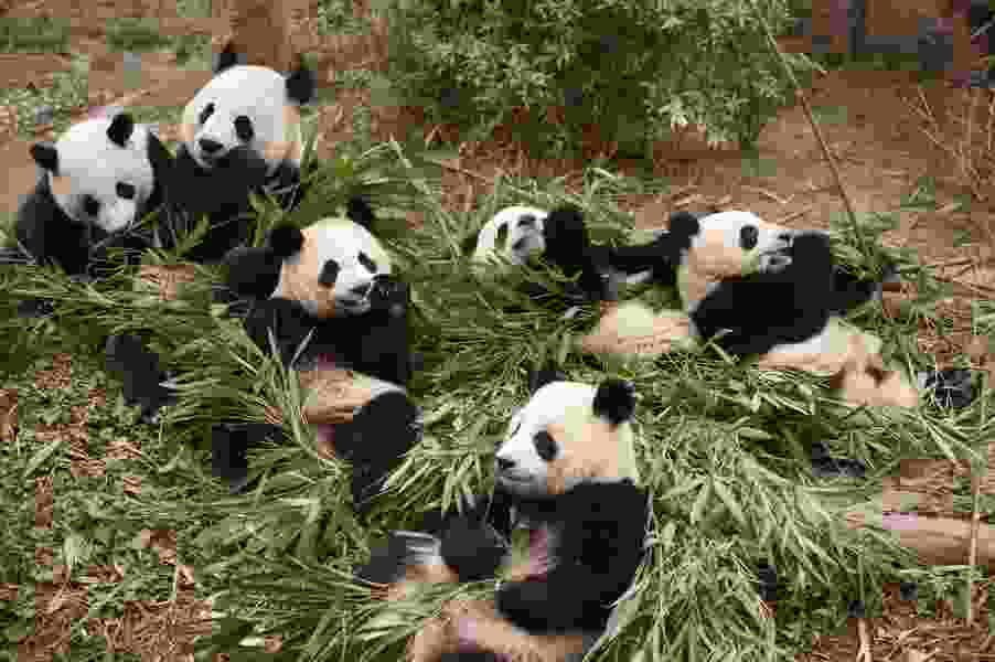 Kristen Bell narrates cuddly IMAX documentary 'Pandas'