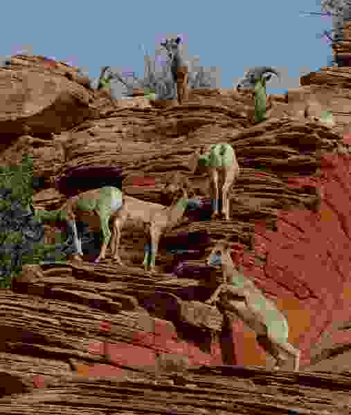 State OKs plan to put bighorn sheep in southern Utah mountains despite concerns of woolgrowers