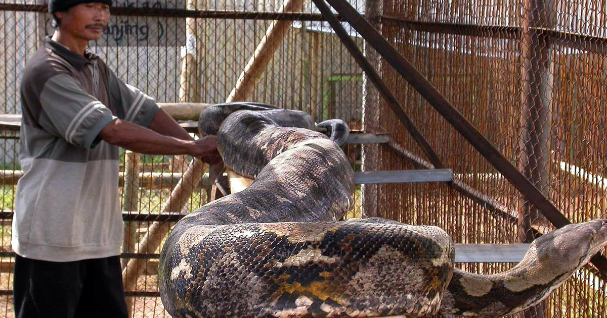 Giant pythons keep attacking Indonesian people — and people might be