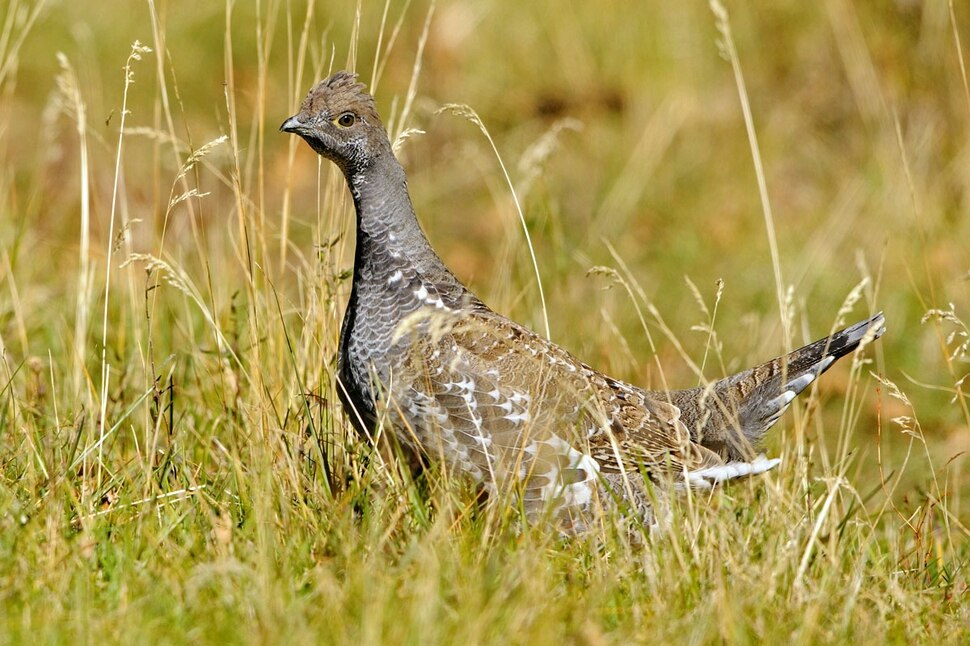 (Photo courtesy of Utah Division of Wildlife Resources) Lots of dusky grouse will be available when Utah's forest grouse hunt opens Sept. 1.