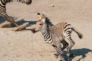 (Ed Kosmicki   Special to The Tribune) Two week old Archie, the second Hartmann's zebra born this year at the Hogle Zoo sprints into the flex yard Tuesday morning June 15, with his mother Poppy in tow. Archie was named for the Arches National Park near Moab and will eventually go to another zoo to start his own harem. Mountain zebras live in more mountainous regions in southwest Africa. Unlike other zebras, mountain zebras have a dewlap, the mane is short and they have very hard, pointed hooves. This species is threatened in the wild.