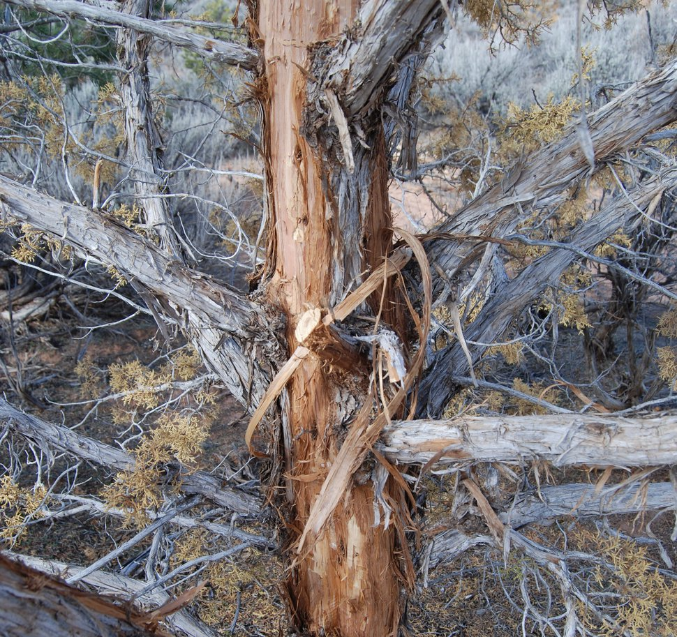 (Brian Maffly   The Salt Lake Tribune) A juniper tree on Utah's Alkali Ridge, east of Blanding, shows signs of beetle infestation. The U.S. Forest Service has concluded drought is the main reason junipers are dying in southeastern Utah.