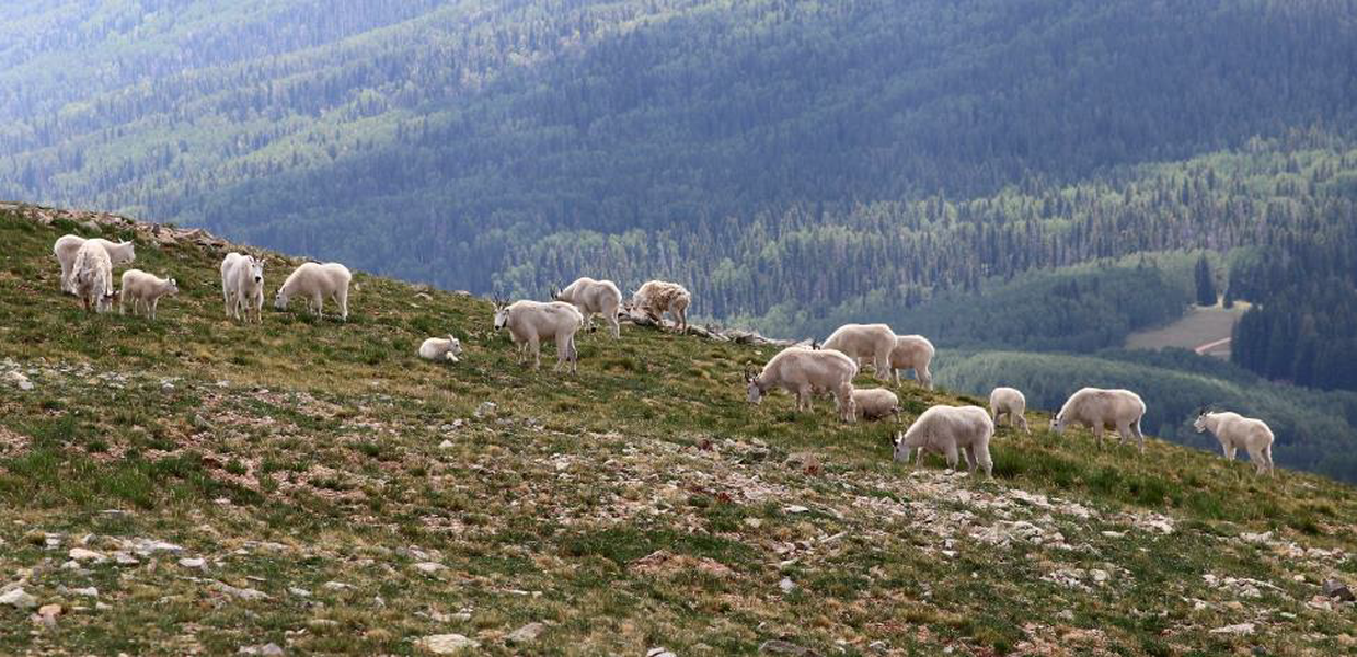 Utah looks to expand mountain goat range, but at what cost to alpine landscapes?
