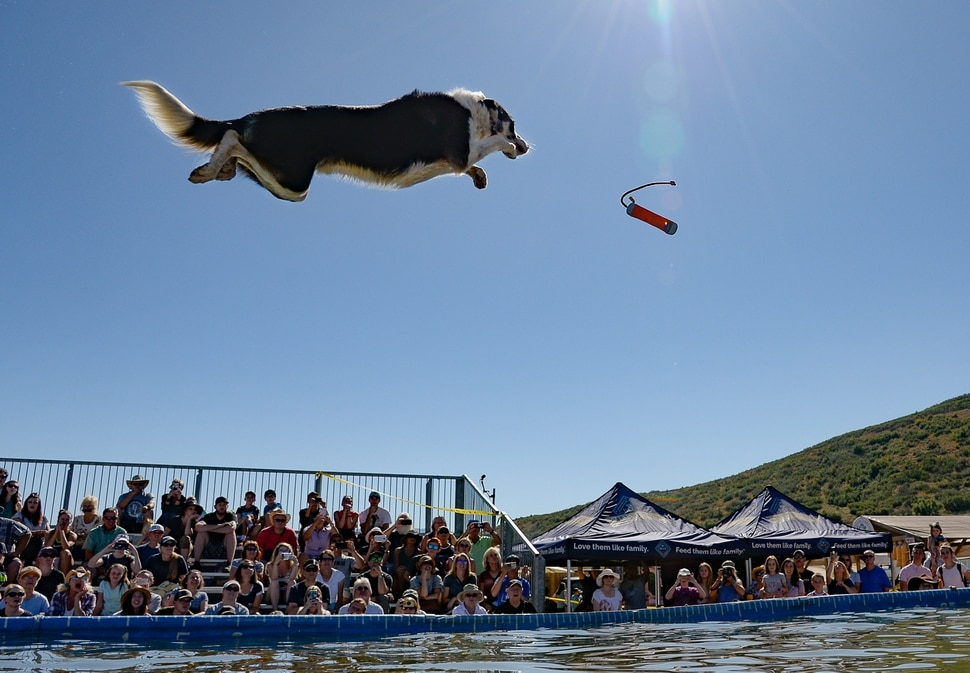 (Francisco Kjolseth | The Salt Lake Tribune) Oscar wows the crowd with vertical liftoff as dogs soar and splash ingot a pool going for distance in the DockDogs Big Air Wave competition as part of the annual Soldier Hollow Classic on Monday, Sept. 2, 2019.