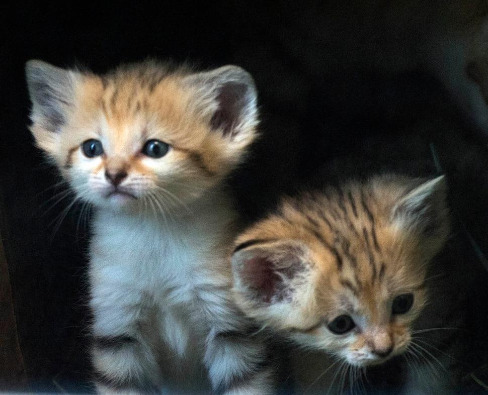 (Rick Egan | The Salt Lake Tribune) Five-week -old baby sand cats, at Hogle Zoo. Thursday, June 7, 2018.