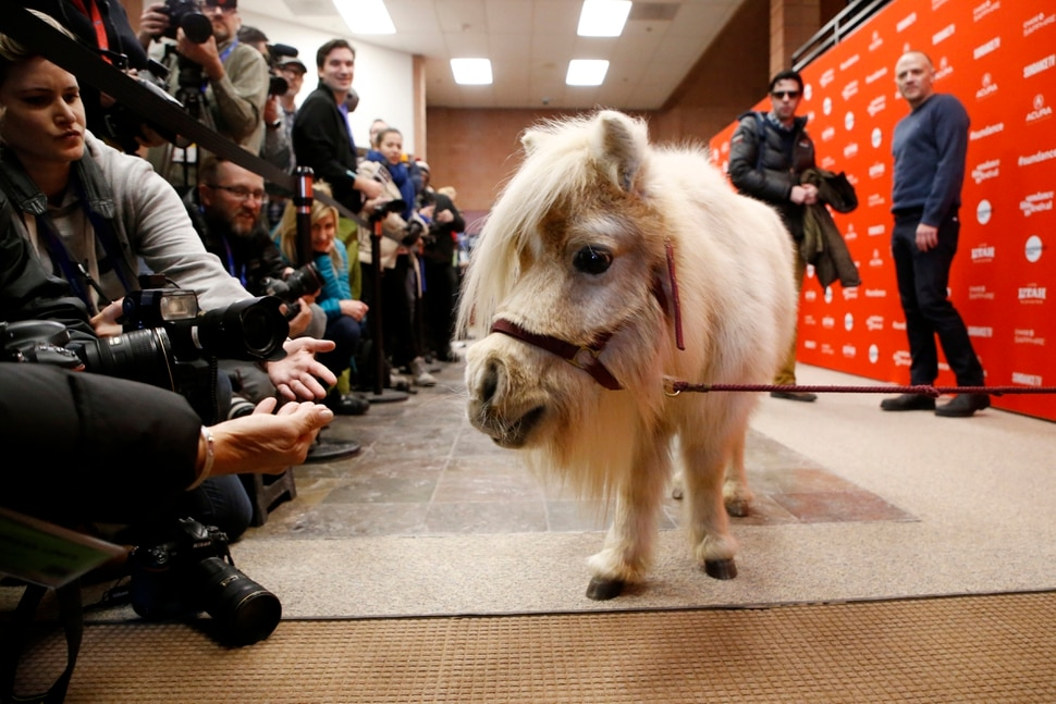 A miniature horse named Daisy, who appears in the film as a character named Butterscotch, poses as director, screenwriter and actor David Zellner, rear right, looks on at the premiere of Damsel during the 2018 Sundance Film Festival on Tuesday, Jan. 23, 2018, in Park City, Utah. (Photo by Danny Moloshok/Invision/AP)