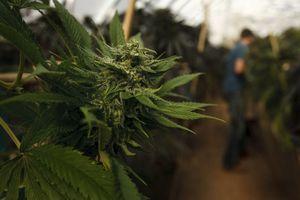 (Leah Hogsten  |  The Salt Lake Tribune) A Colorado marijuana greenhouse is shown in 2014.
