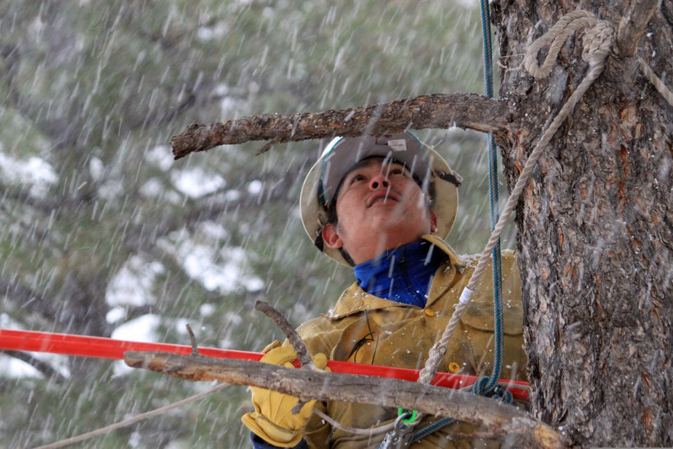 In this Thursday, Oct. 24, 2019, photo Nick Naranjo with Santa Clara Pueblo's forestry department scales a ponderosa pine tree in the snow to scout for cones at Bandelier National Monument near Los Alamos, N.M. A cone collecting effort is underway in parts of New Mexico and Colorado as conservationists and land managers work to gather seeds to restore forested landscapes following wildfire. (AP Photo/Susan Montoya Bryan)
