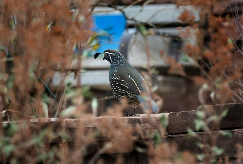 (Scott Sommerdorf | The Salt Lake Tribune) A California Quail spotted at the 118th Audubon Society Christmas Bird Count at Red Butte Garden, Saturday, December 16, 2017.