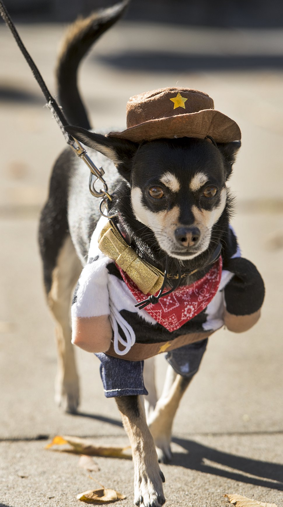 (Leah Hogsten | The Salt Lake Tribune) Lenny, the Chihuahua, walks the catwalk during the Howl-o-ween Pet Costume Contest in 2017