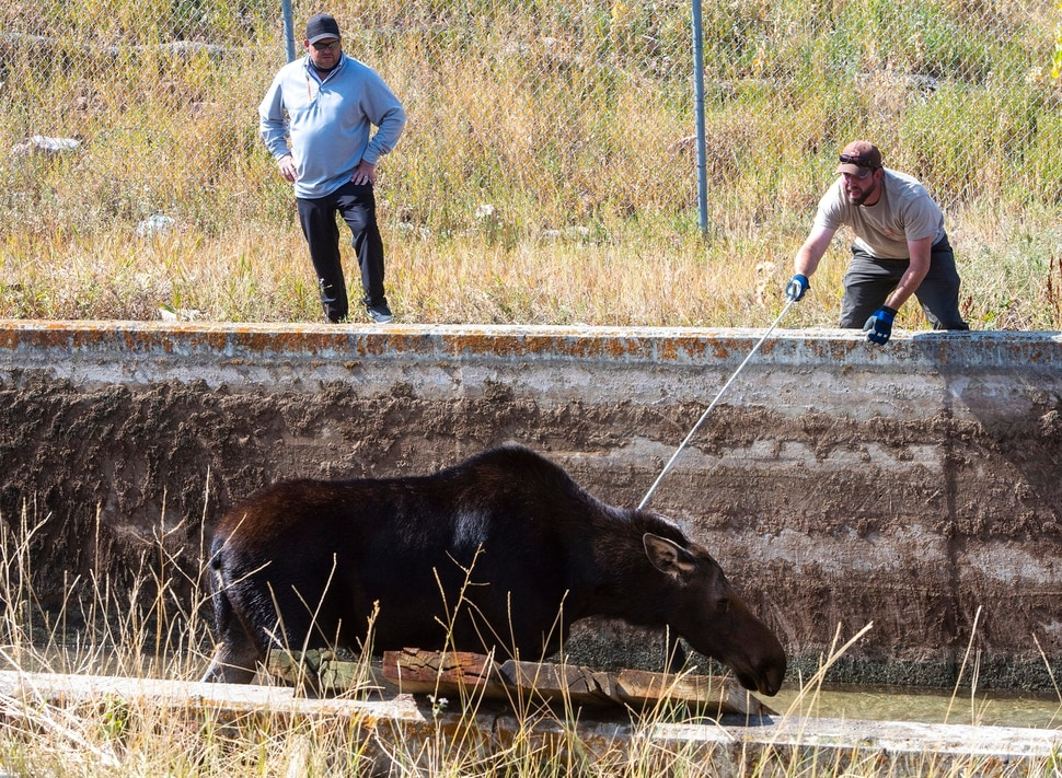 (Rick Egan | The Salt Lake Tribune) Utah Division of Wildlife Resources work on rescuing a moose that got stranded in the Lambs Creek diversion pond near Mountain Dell golf course, on Sunday, September 20, 2020. Sunday, Sept. 20, 2020.