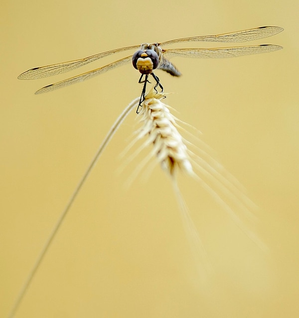Steve Griffin   The Salt Lake Tribune A dragonfly clings to a dried grass stalk on the Bonneville Shoreline Trail in Salt Lake City Monday July 10, 2017.
