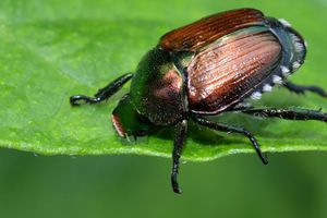 (Courtesy Utah Department of Agriculture and Food) The Japanese beetle may be small but can be massively destructive to crops and turf. The insect can be recognized by its distinctive, iridescent green coloring and white tufts of hair on their sides.