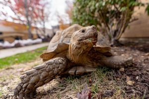 (Francisco Kjolseth | The Salt Lake Tribune) Frankie the 20-year-old tortoise spends time in the courtyard at the Salt Lake City Veterans Home where he lives on Monday Oct. 11, 2021. Over the weekend he had quite the adventure when he escaped through an unlocked gate on Sunday with University of Utah police tracking him down elsewhere on campus.
