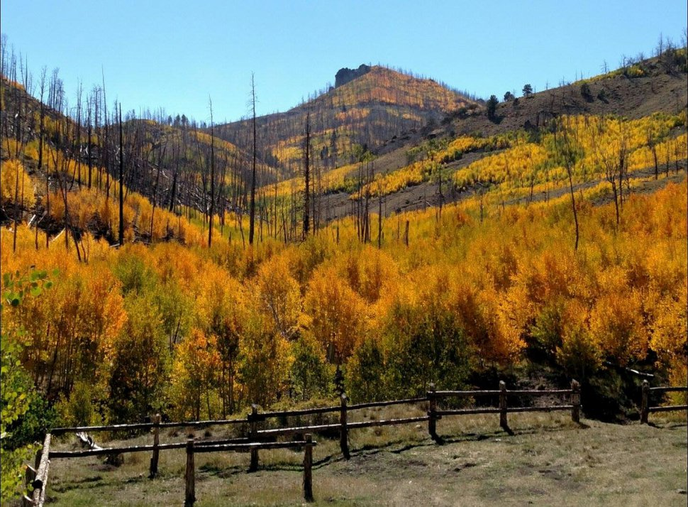 (Courtesy U.S. Forest Service) Fiery aspen rise from the ashes of a wildfire between Blubber and Kanab creeks in Dixie National Forest near the East Fork of the Sevier River. Photo from 2016.