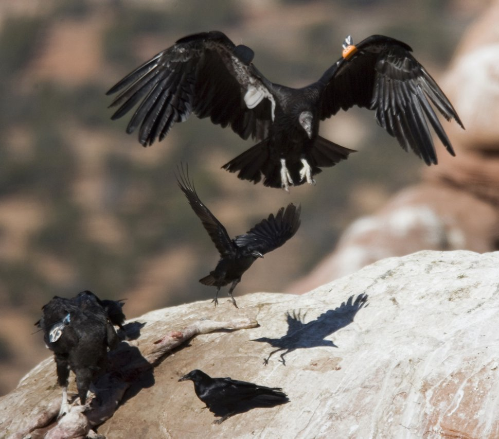 FILE - In this March 2, 2006, file photo, a California condor, upper right, comes in for a landing after being released from a cage at the Vermillion Cliffs National Monument in northern Arizona. The effort to bring one of the world's largest birds back from the brink of extinction is expanding after northern Arizona and southern Utah found success in getting deer hunters to use ammunition not made of lead. (Tom Tingle/The Arizona Republic via AP, File)