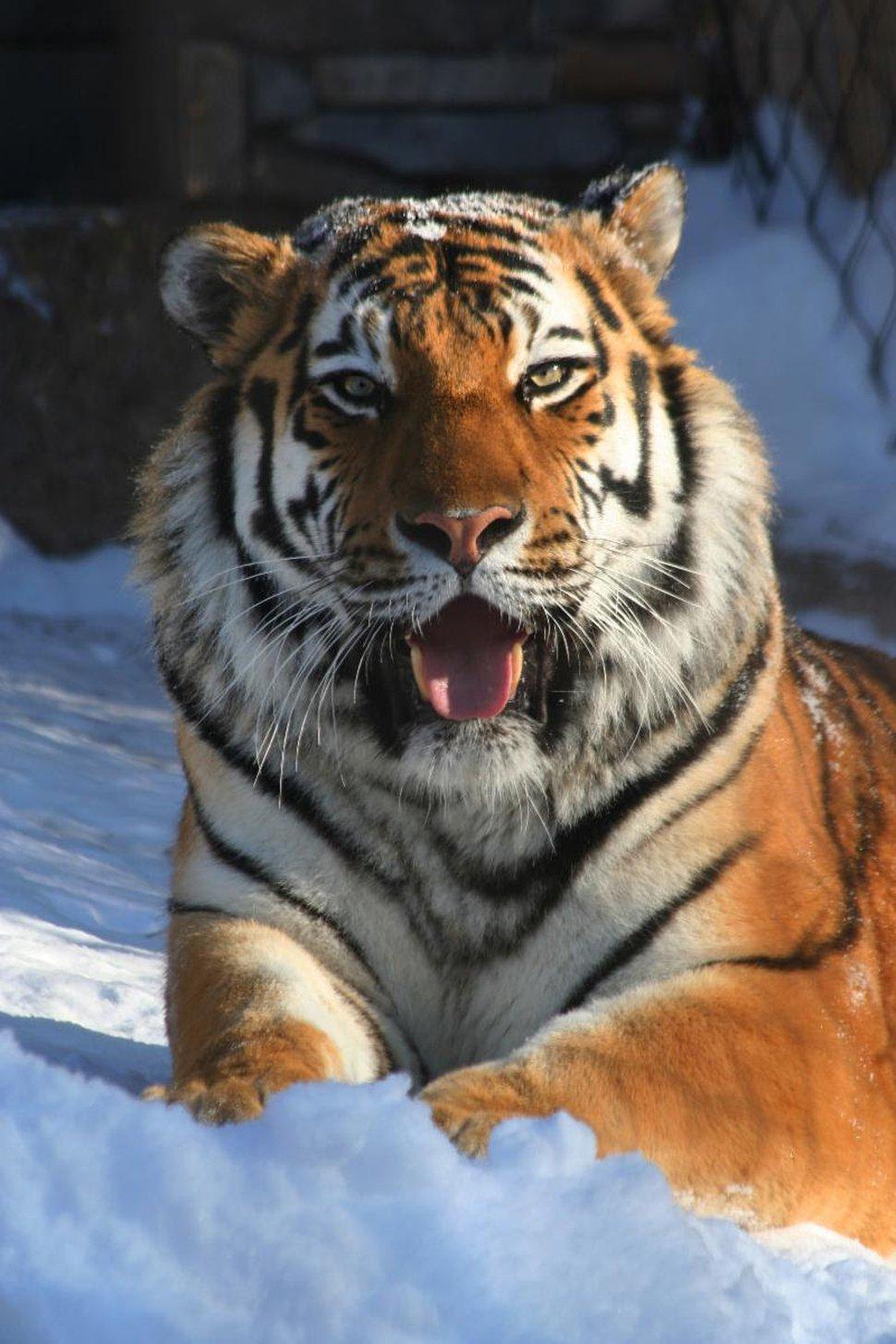 (Courtesy Hogle Zoo) Kazek the tiger