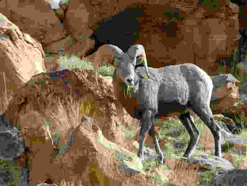 State to eradicate Antelope Island's entire population of bighorn sheep because of illness