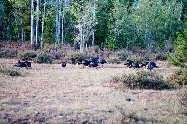 (Courtesy of the Utah Division of Wildlife Resources) Wild turkeys are thriving in Utah. The birds provide a thrilling viewing experience in the state's backcountry.