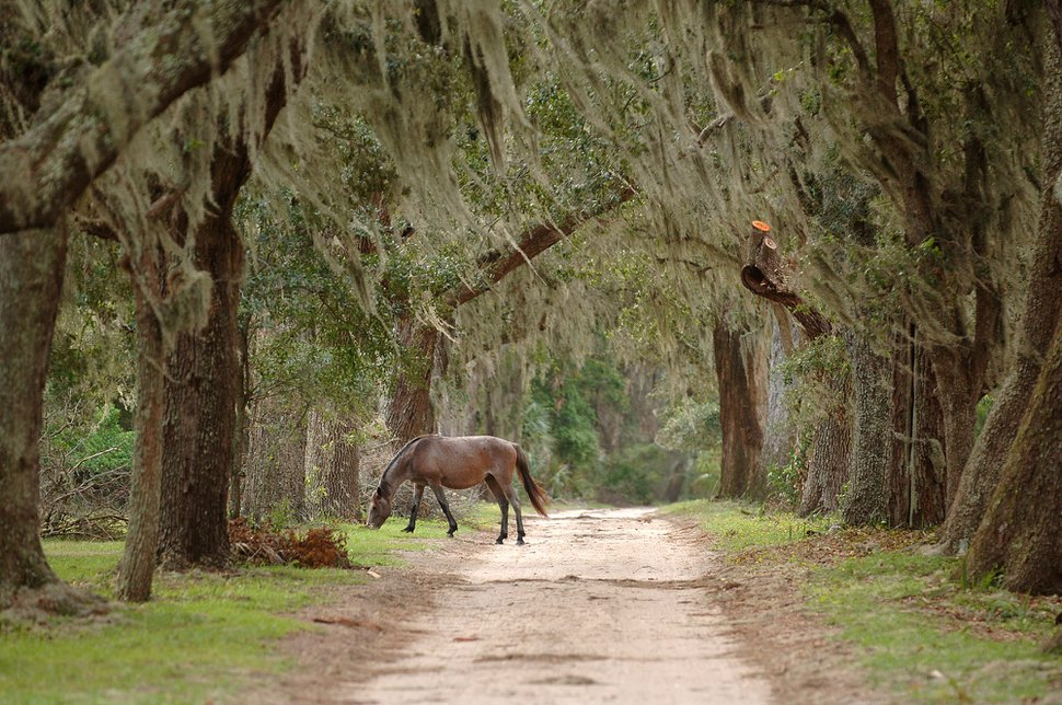 A wild horse grazes on one of the dirt roads on Cumberland Island, Georgia National Seashore, Saturday, Sept. 20, 2008. Herds of wild horses run loose on the 17-mile-long island once owned by the Carnegie family and made famous by the wedding of John F. Kennedy Jr. in 1996. The National Park Service is looking at starting vehicle tours to the north end of Cumberland Island beginning next year in accordance with a mandate from Congress to increase accessibility in the national seashore area. (AP Photo/Chris Viola)