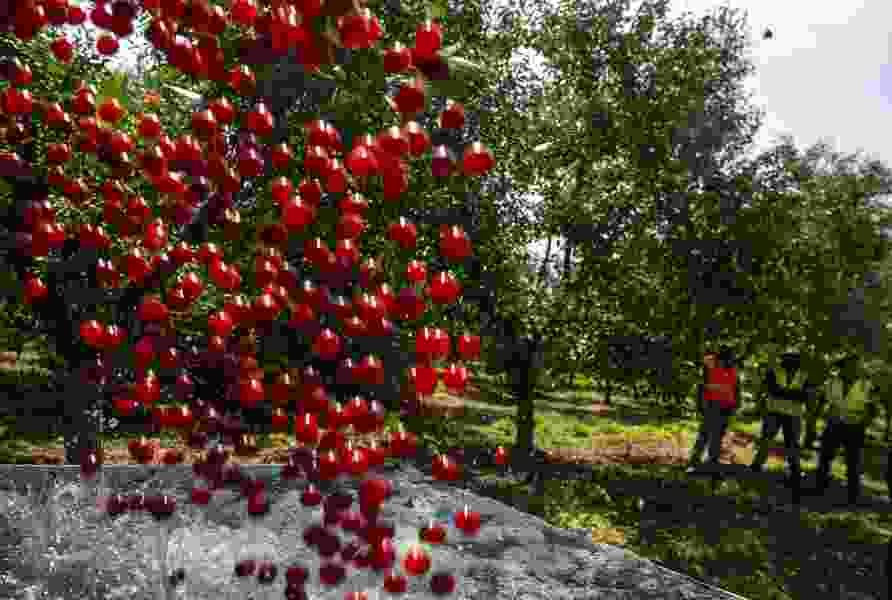 Utah farmers declare a tart cherry war as Turkey floods market with cheap fruit