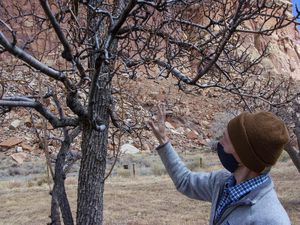 (K. Sophie Will | The Spectrum via AP) Fritz Maslan, park horticulturalist, looks at a tree during a gathering to discuss a proposed rehabilitation for the orchards on Thursday, March 4, 2021, at Capitol Reef National Park, in Fruita, Utah.