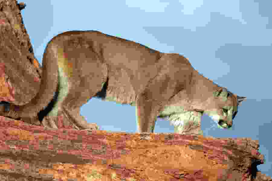 Utah wildlife officials propose allowing more cougar hunting permits