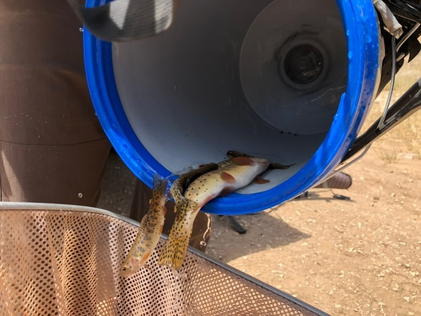 (Photo courtesy of Utah Division of Wildlife Resources) Utah fisheries managers extracted 400 native cutthroat trout on Monday from a southern Utah stream threatened by the West Valley Fire in the Pine Valley Mountains. These fish will be held at state hatchery for a year or two while the South Ash Creek watershed recovers.