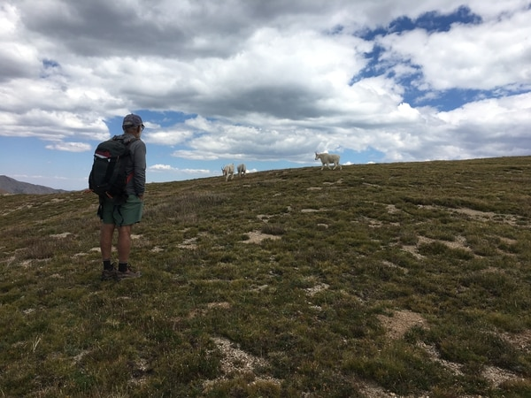 (Photo courtesy of Marc Coles-Ritchie, Grand Canyon Trust) Conservationists say introduced mountain goats in Utah's La Sal Mountains, pictured here in August 2017, are damaging Mount Peale's fragile alpine ecosystems. Field volunteer Dennis Sivla observes a group as they follow him into a research plots under study by teams monitoring the area for changes arising from the presence of goats. Utah wildlife officials are now developing proposals to establish goat herds in other Utah ranges where this big game species is not native.