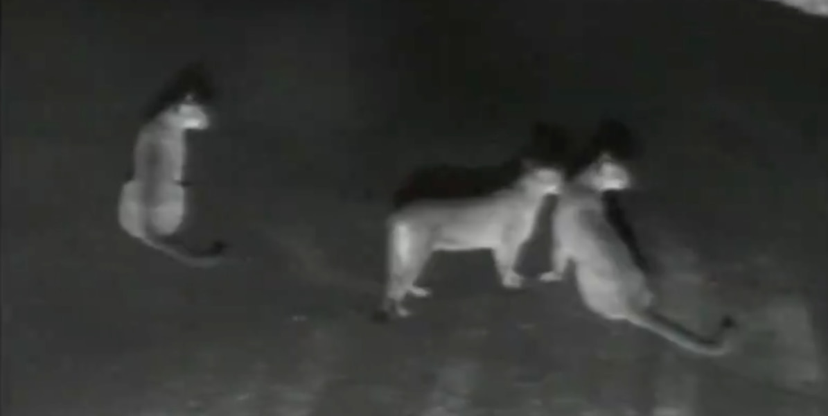 Video shows mountain lion and two cubs at Salt Lake City water treatment plant