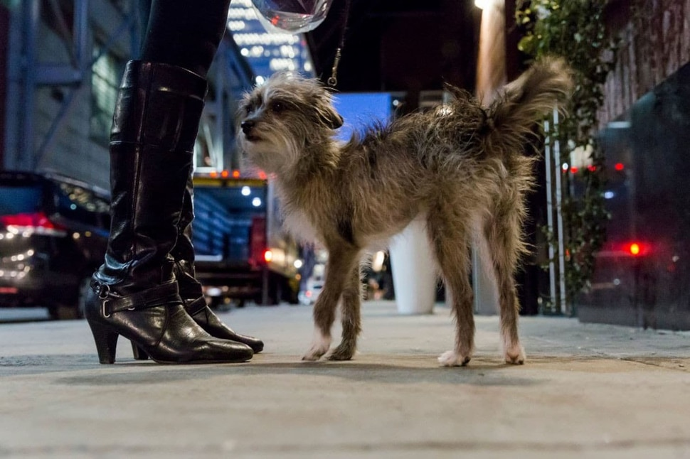 Sissy, the first mixed-breed, or all-American, dog to compete in the obedience trials at Westminster, stands outside her Midtown Manhattan hotel. (Mark Abramson for The Washington Post)